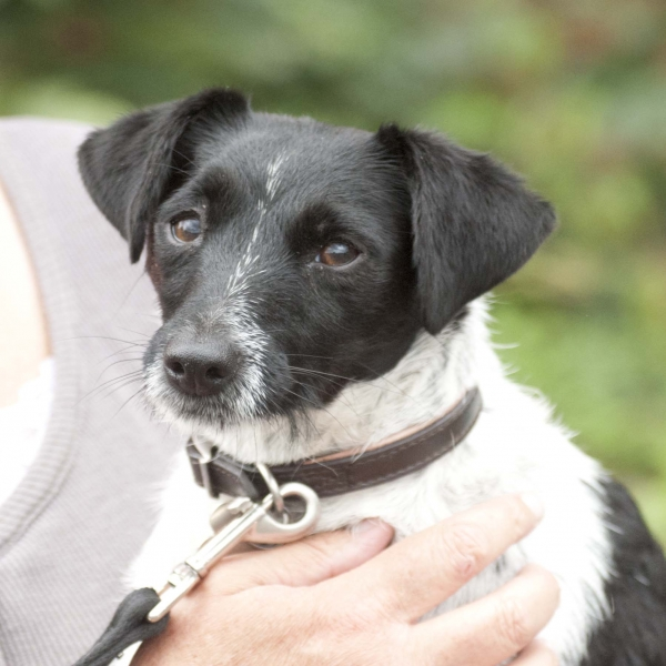 The gallery for --> Wire Haired Black And White Jack Russell